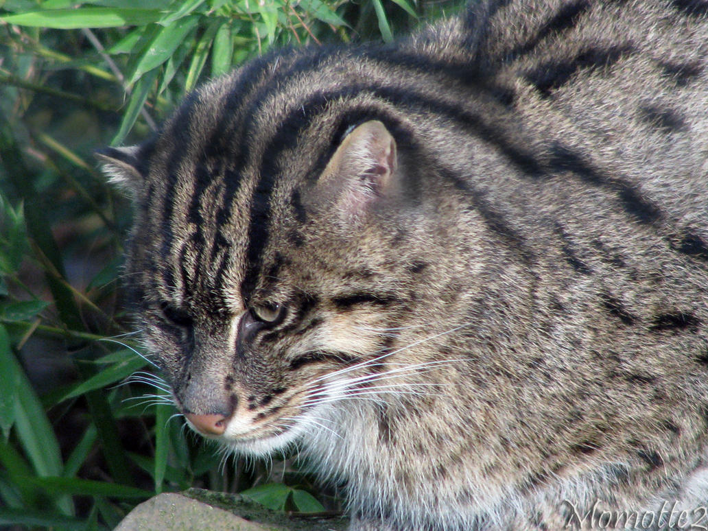 Friendly fishing cat by Momotte2