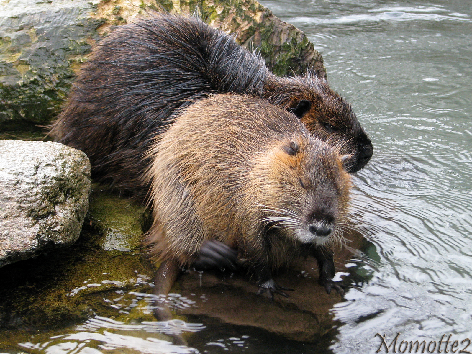 Myocastor Coypu under the rain by Momotte2