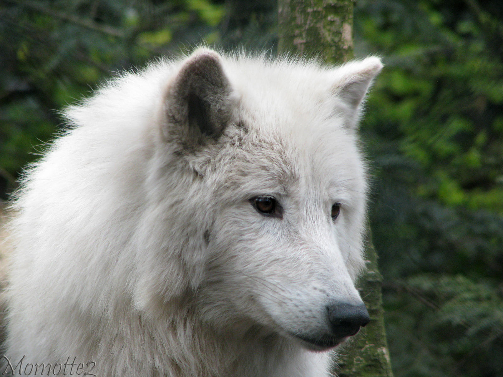 The melancholic white wolf by Momotte2
