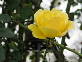 Delicate yellow rose for birthday