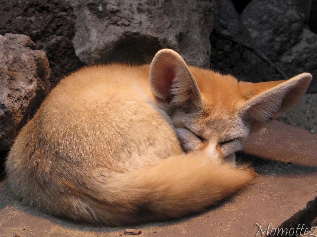 Dreams of Mr Fennec fox by Momotte2