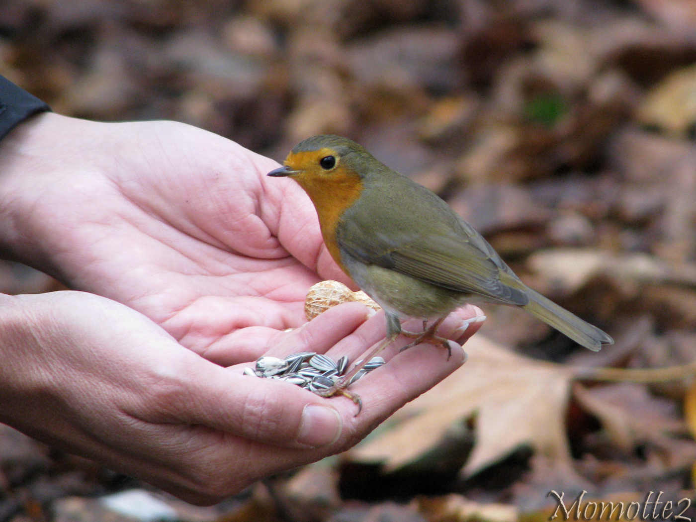 Friendly robin in my hand by Momotte2