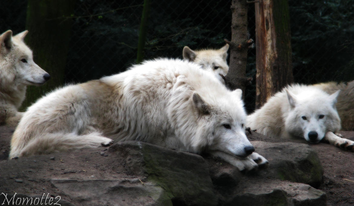 Relaxing white wolves by Momotte2
