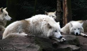 Relaxing white wolves
