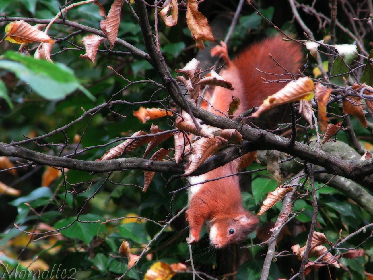 Acrobat squirrel by Momotte2