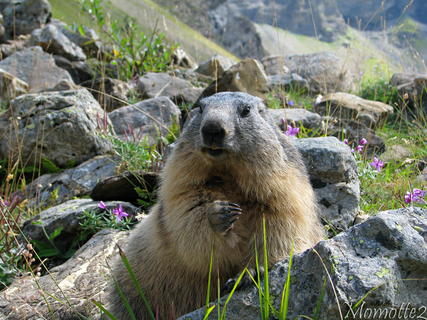 Happy marmot in flowers by Momotte2