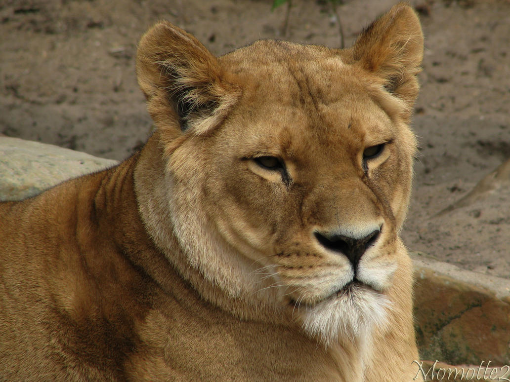 Sweet face of the lioness by Momotte2