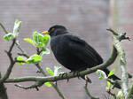 The pretty blackbird