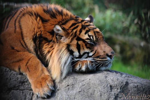 Nap of the Sumatran Tiger