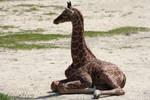 Relaxing baby giraffe