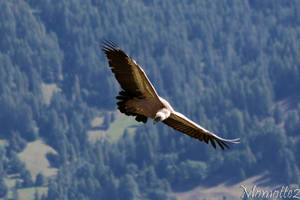 Freedom in the sky for the griffon vulture by Momotte2