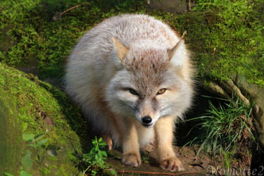Sweet Corsac Fox by Momotte2