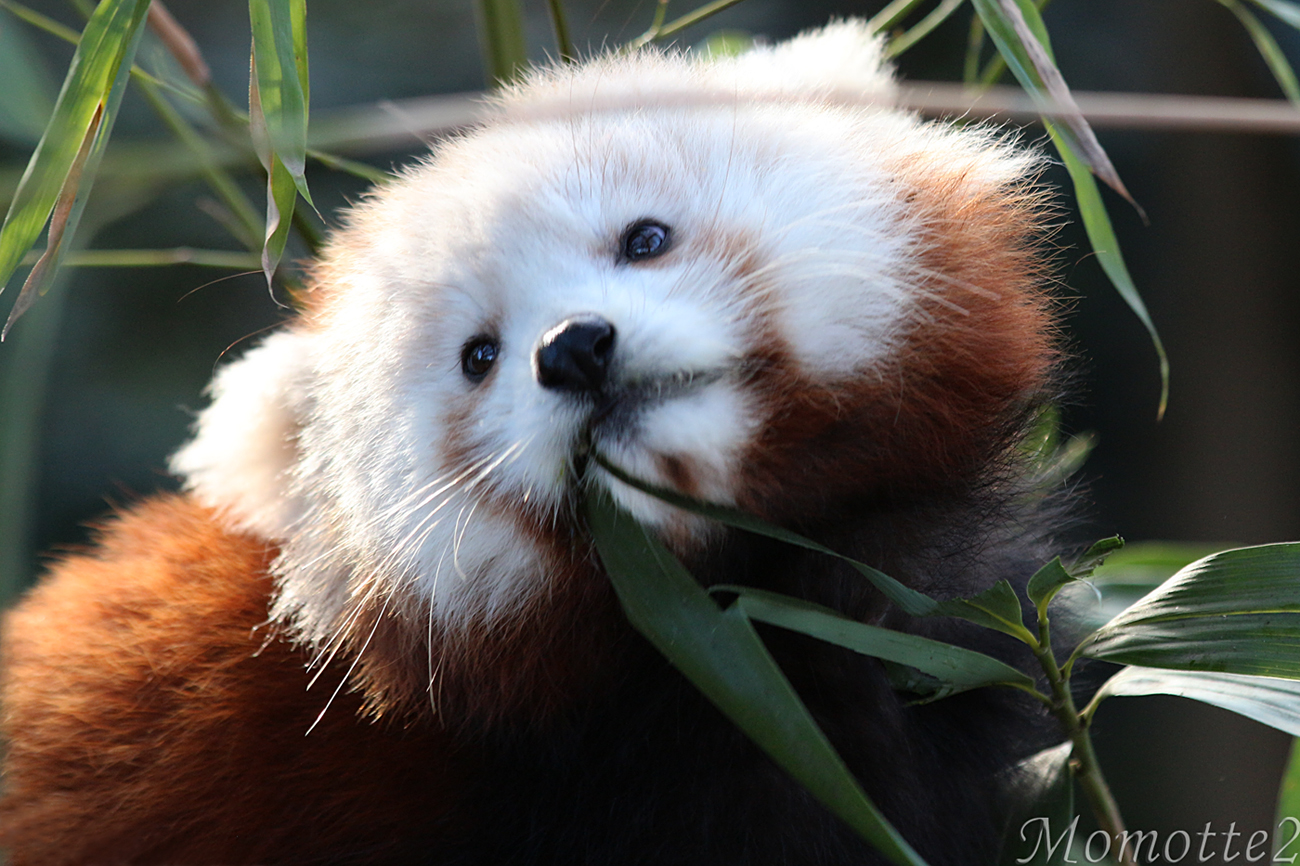 Sweetest Face Of Baby Red Panda By Momotte2 On Deviantart