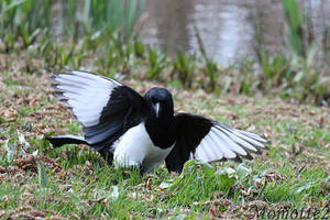 Graceful landing of magpie by Momotte2