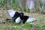Graceful landing of magpie