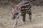 Charming baby tapir