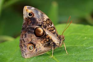 Owl butterfly in green world