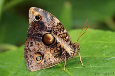Owl butterfly in green world by Momotte2