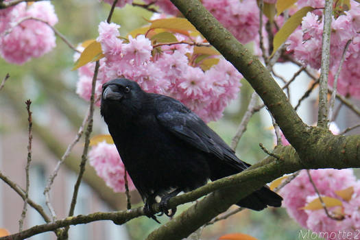 Pink dream for a crow
