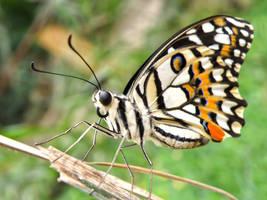 Longleggy Butterfly by Bhesi