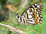 Longleggy Butterfly