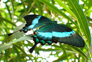 Butterfly green and blue by Bhesi