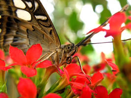 Butterfly on red flowers by Bhesi