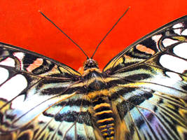 Butterfly macro by Bhesi