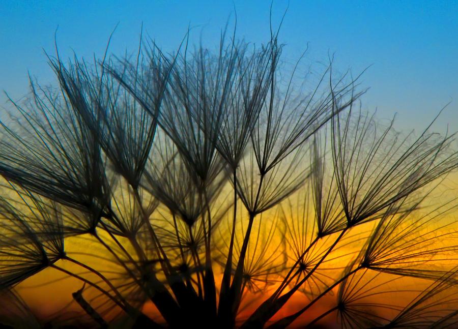 nature sunset grass dandelion - photo #10
