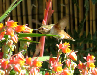 Allen's Hummingbird by beautifulchaos1