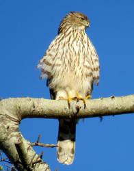 Juvenile Coopper's Hawk