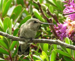 Anna's Hummingbird by beautifulchaos1