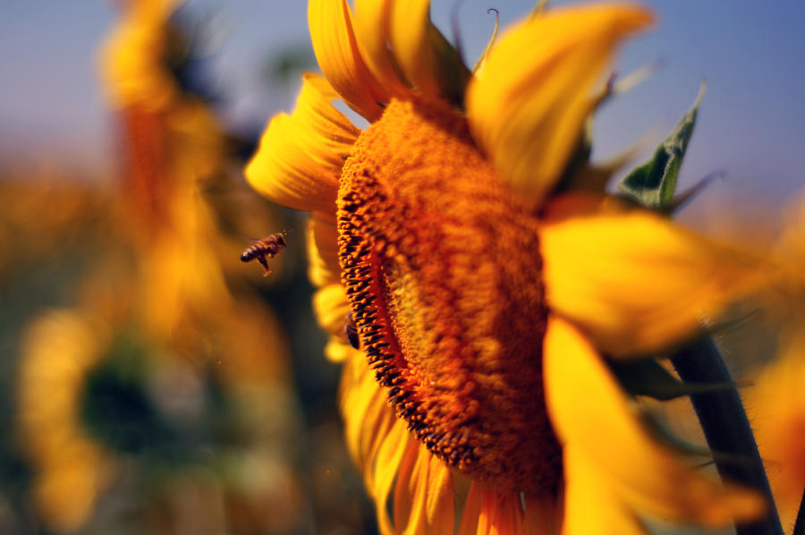 bee with sunflowers by aydnahmet