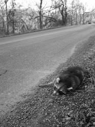 death of a raccoon