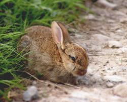 Yorkshire bunny