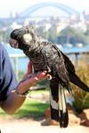Bird 1_Black Cockatoo - Stock