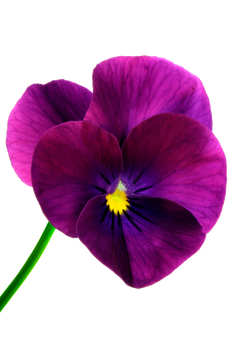 flower 16_Pansy - Stock