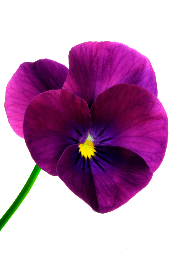 flower 16_Pansy - Stock by Inadesign-Stock on DeviantArt