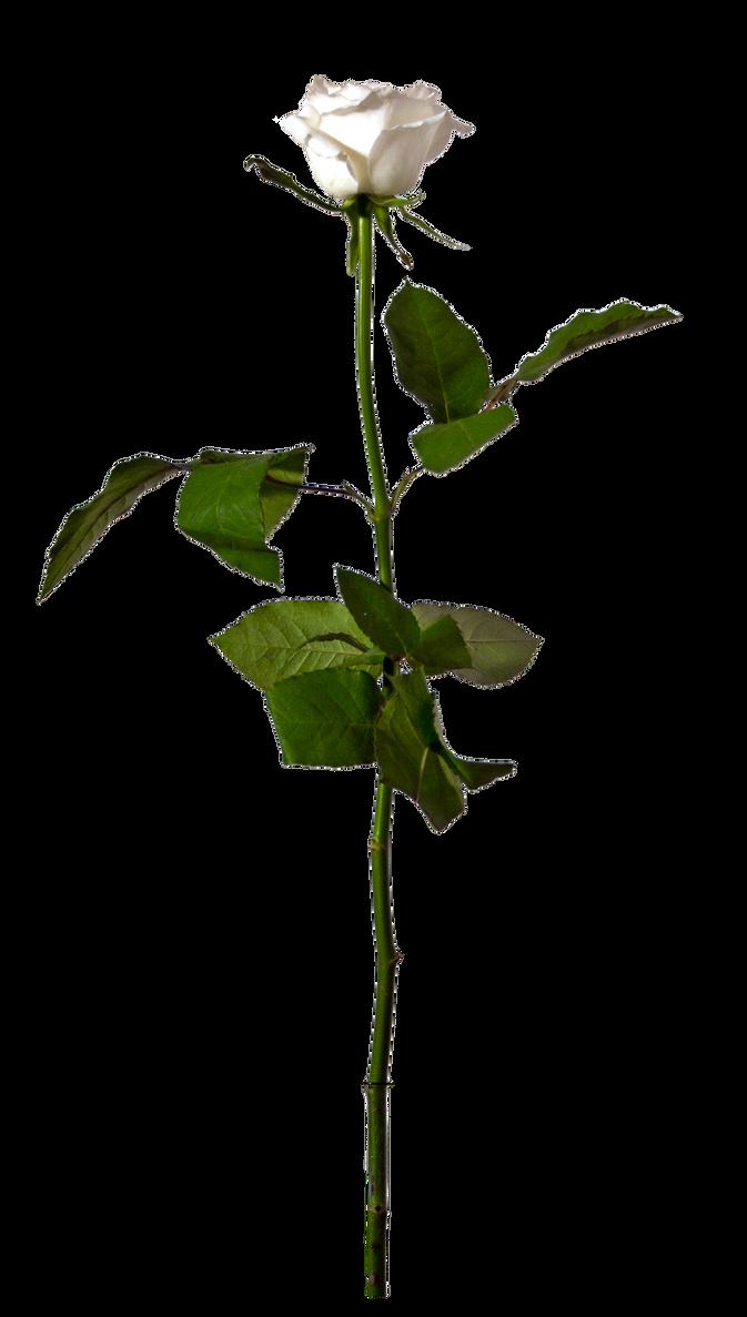 eleletsitz: Single White Rose Png Images