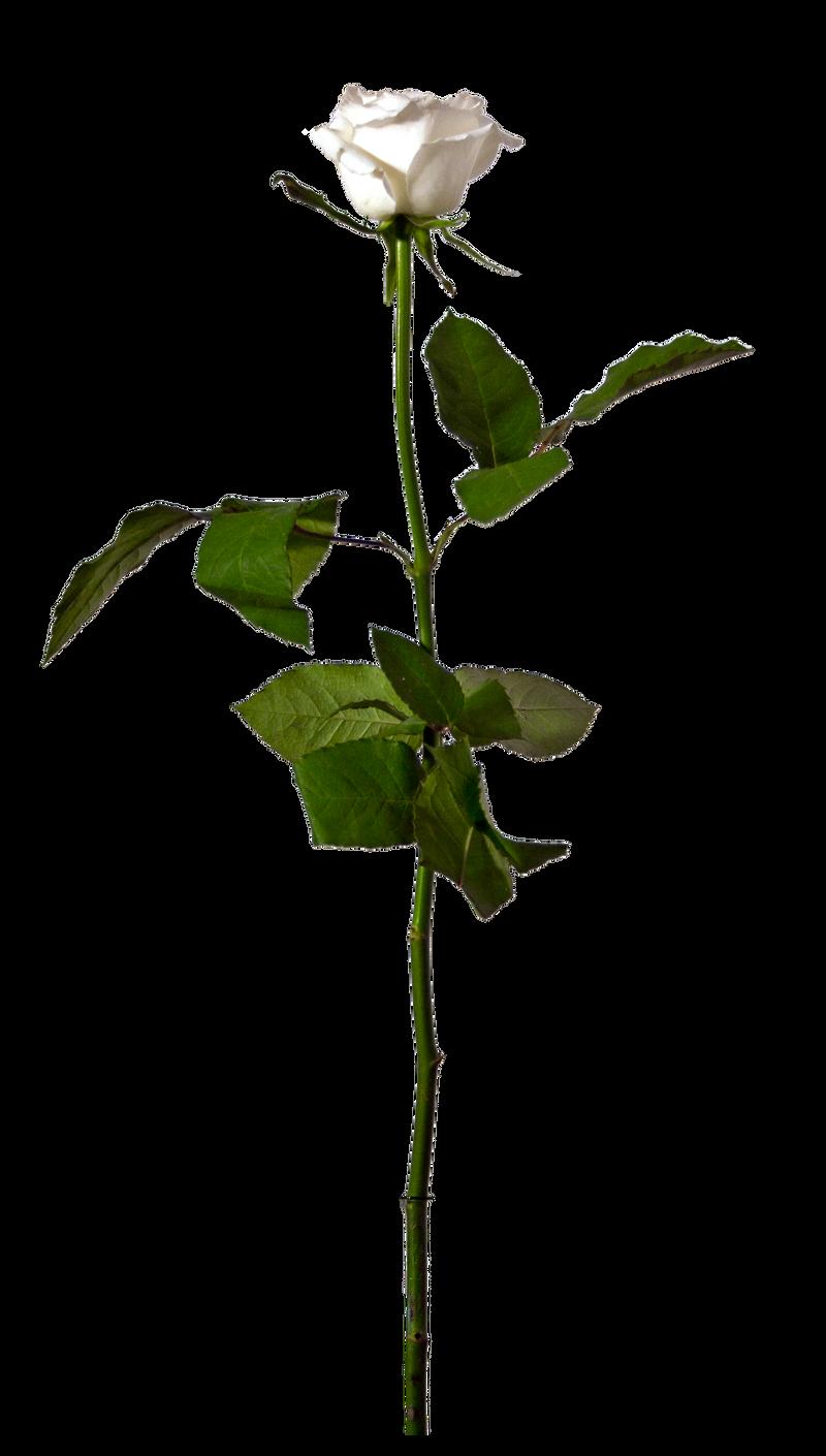 Single White Rose - Stock