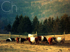 Vermont Cows by Champineography