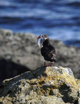 Puffin on the island of Vigur