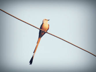 Long Tailed