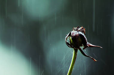 Withered in the rain...