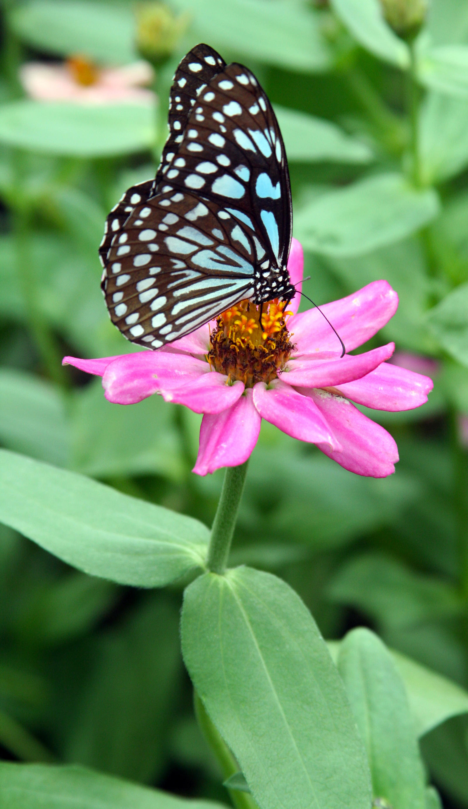Blue Butterfly on Pink Flower by PanisEtCircense on DeviantArt