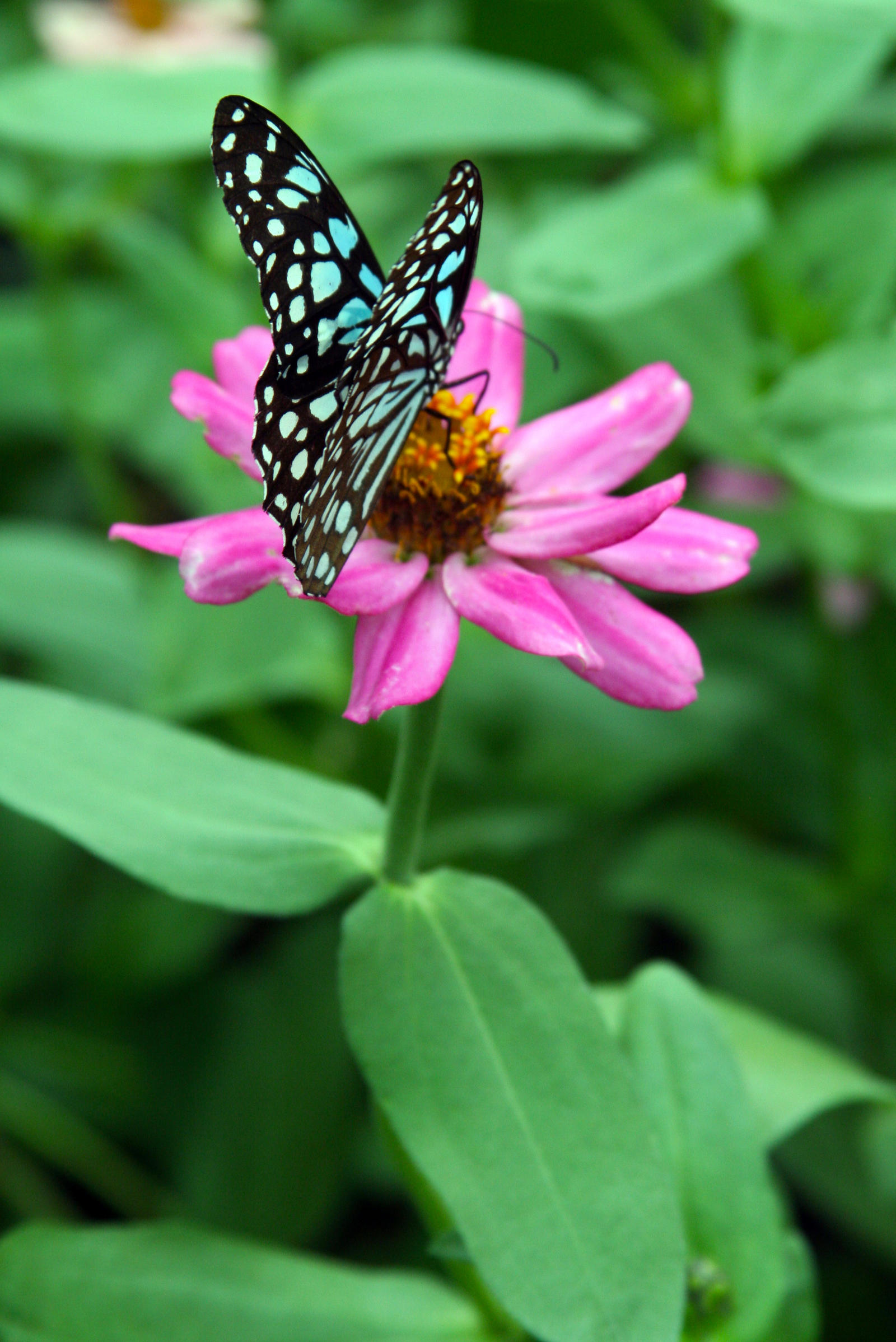Blue Butterfly on Pink Flower 2 by PanisEtCircense on ...