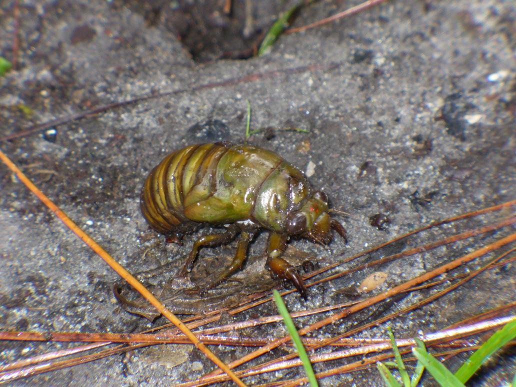 cicada nymph - photo #12