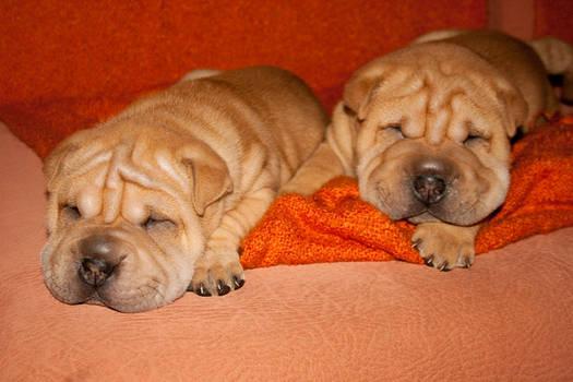 Shar pei puppies