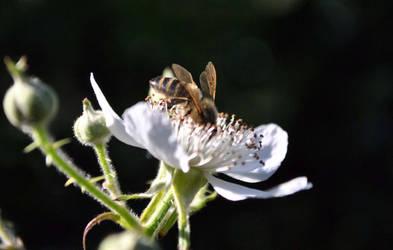 bramble bee