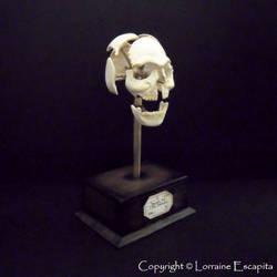 Miniature Beauchene Skull by DFLY847